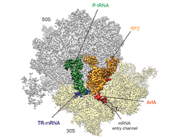 Protein synthesis - Ribosome recycling as a drug target